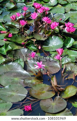 Pink lotus blossoms or water lily flowers in pond - stock photo