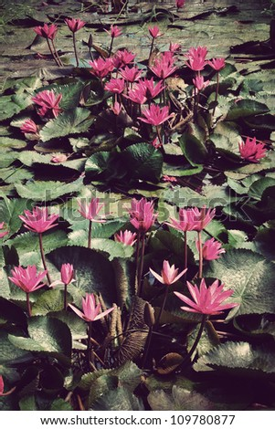 Pink lotus blossoms or water lily flowers in pond,Vintage style