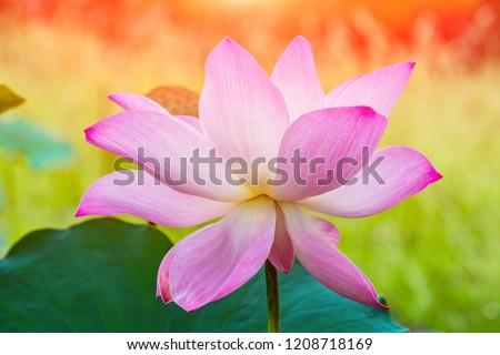 Flower Lotus Sacred Lotus Egyptian Lotus Pink Lotus Images And