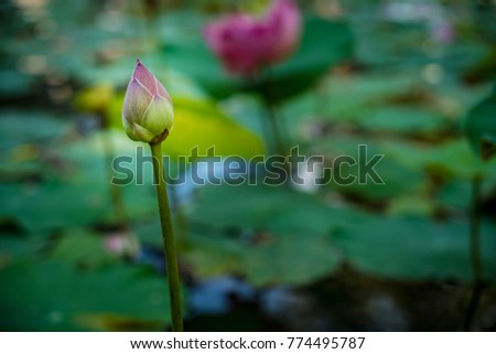 Pink lotus flower and lotus green leaves in pond #774495787