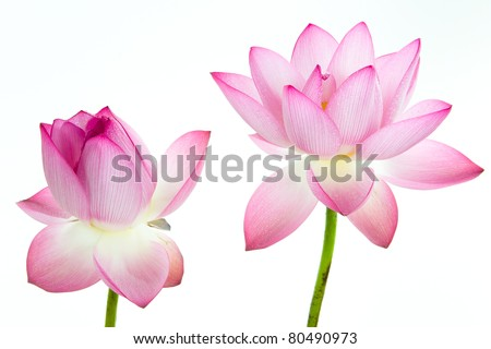Pink lotus flower and white background the lotus flower water lily pink lotus flower and white background the lotus flower water lily is national mightylinksfo