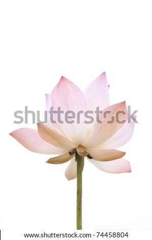 pink lotus flower as white isolate background
