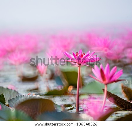pink lotus flower blooming at summer. - stock photo