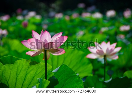 pink lotus flower blooming at summer.East asia people like this flower.