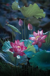 Pink lotus flower in lake with small dragonfly on lotus
