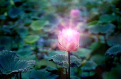 Pink lotus flower in the lotus pond for agriculture and lighting shine from lotus flower, religion concept.
