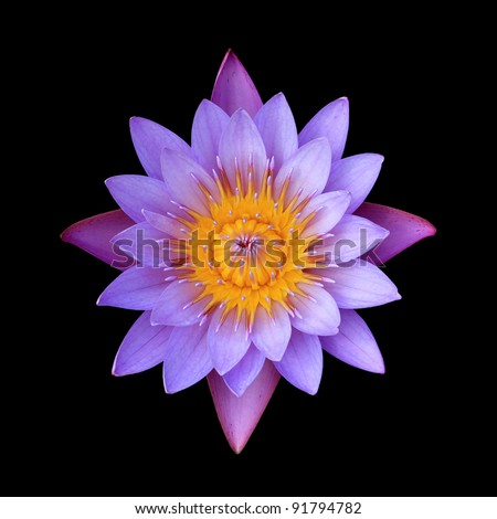 Pink lotus flower on a black background. For a background image.