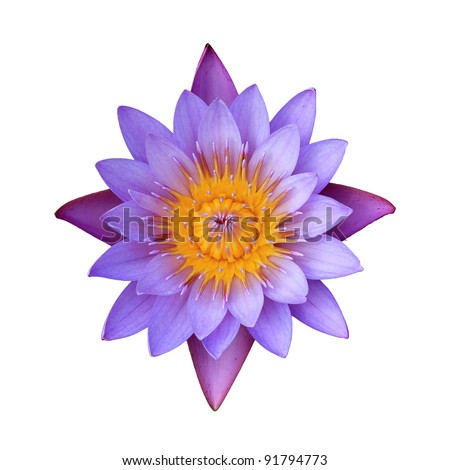 Pink lotus flower on a white background. For a background image.