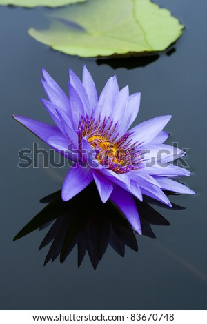 pink lotus flower on isolate background - stock photo