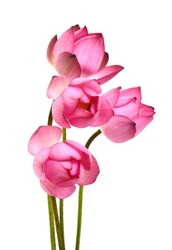 pink Lotus flower on white background