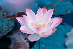 pink lotus flower plants in water