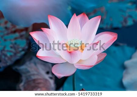 pink lotus flower plants in water