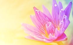 Pink lotus flower , Water lilly