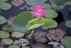 Pink lotus flowers blooming in the lake with blur background