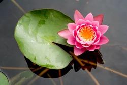 Pink lotus flowers blooming on pond