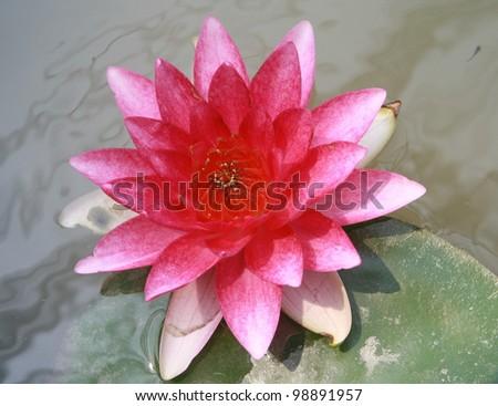 Pink lotus in river
