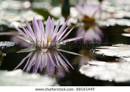 Pink lotus in the pond (Water lily)