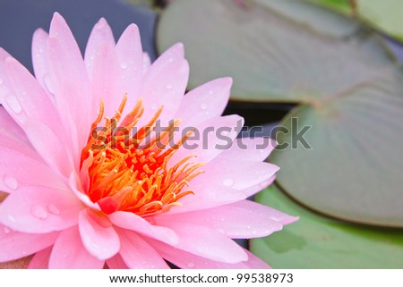 Pink lotus in the pool as flower style