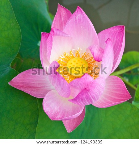 Pink Lotus on green leaves in the pond.