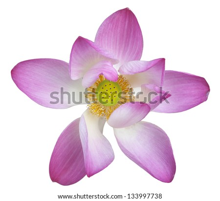 Pink lotus on isolate background