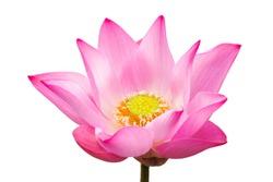 Pink lotus on white background (focus pollen)