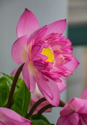 Pink lotus, the flower is considered as the symbol of noble-mindedness in many cultures.