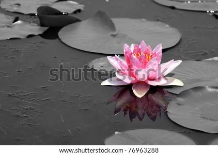 Pink Lotus (Water Lily)