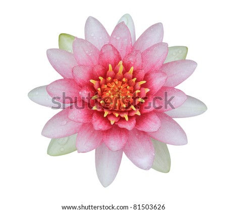 pink lotus (Water Lily) isolated on white background