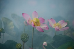 Pink lotus with artistic blurred background