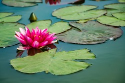 Pink lotuses in clear water. Beautiful water lilies in the pond.