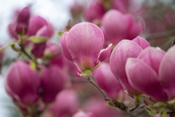 pink Magnolia blooms, large pink Magnolia flowers, trees bloom in spring