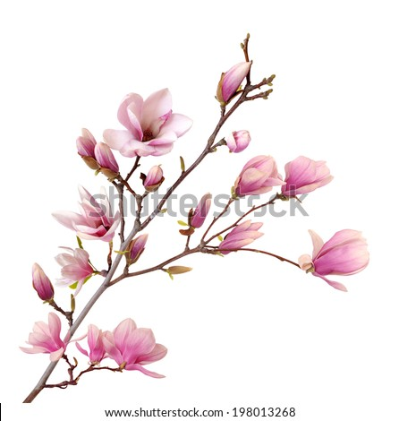 pink magnolia flower isolated on white background  #198013268