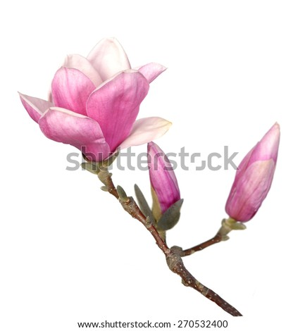 Magnolia Flower Branch Isolated On White Images And Stock Photos