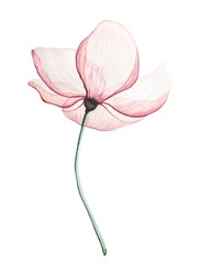 Pink Magnolia flower, on a white background transparent petals delicate watercolour technique