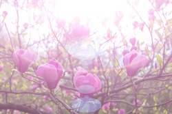 Pink magnolia flowers in the sun. Trend color pink. Blue sky.  Shallow depth of field.  Spring background.