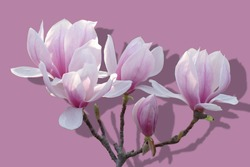 Pink Magnolia flowers, isolated on mauve colored background.