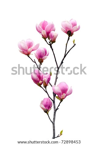 Pink magnolia flowers isolated on white background #72898453
