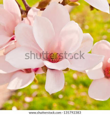 Pink magnolia in bloom