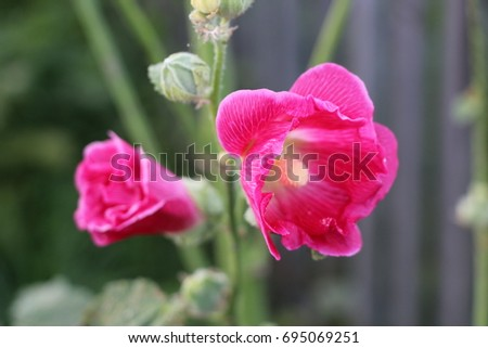 Pink mallow flowers with tender petals and yellow center #695069251