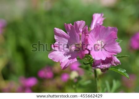 Pink malva flower bush with two flower heads in a summer season home pink malva flower bush with two flower heads in a summer season home flower garden mightylinksfo