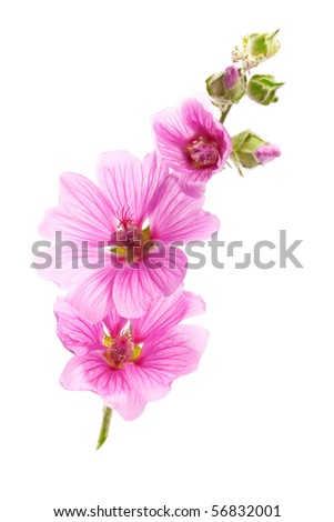 Pink malva flowers, isolated on white