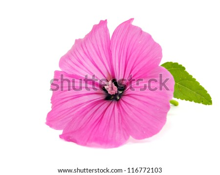 Pink malva silvestris flower on a white background