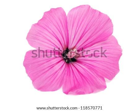 Pink malva silvestris flower on a white background - stock photo