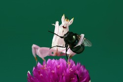 Pink mantis is eating its prey insect.