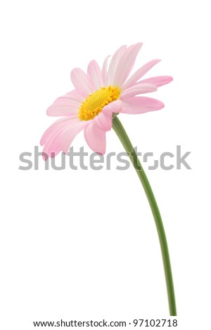 Pink marguerite isolated on white background