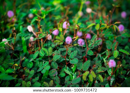 Pink Mimosa Flowers With Green Plants Nature Background Ez Canvas