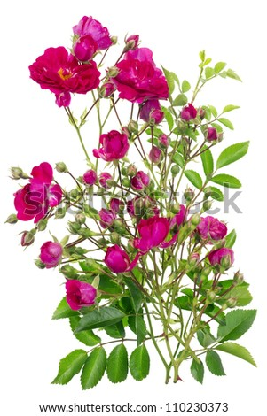 Pink mini roses and buds  bush floral texture isolated macro. Selective focus - stock photo