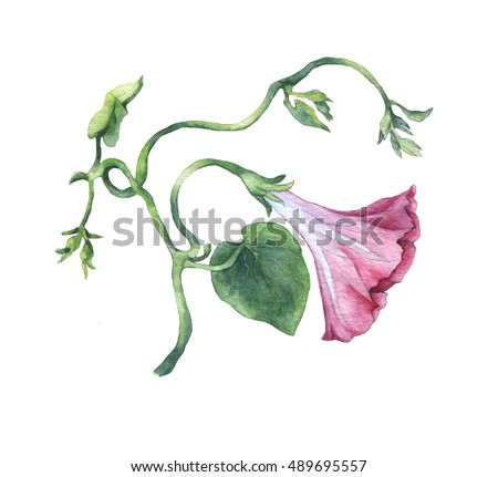 Pink Morning Glory (Field Bindweed, Convolvulus arvensis) flowers. Hand drawn watercolor botanical illustration.