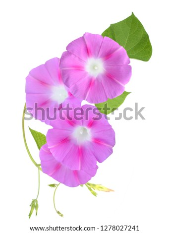 Pink Morning glory, Ipomoea blooming isolated white