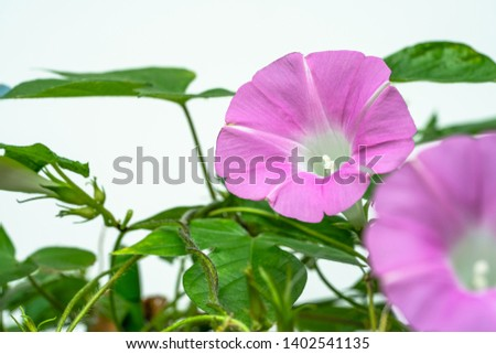 Pink morning glory was shot on a white background.
